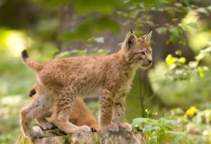 Lynx1_1.png