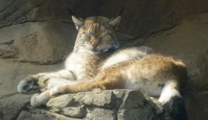 Lynx2_1.png